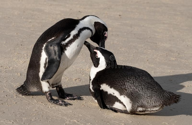 Para Afrykańscy pingwiny oddziała wzajemnie z each inny na piasku przy głazami Wyrzucać na brzeg w Kapsztad, Południowa Afry obraz royalty free