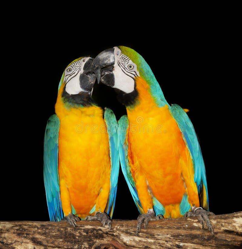 Para ar papugi zdjęcie stock