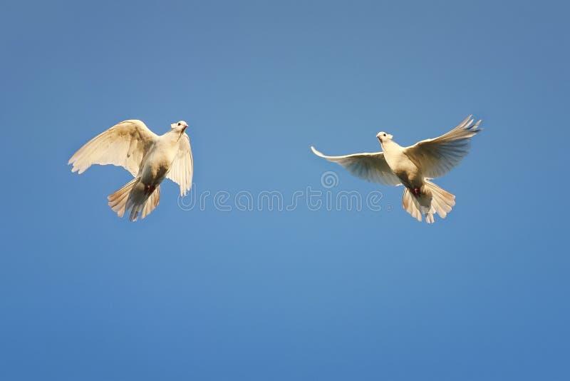 Para białe gołąbki wznosi się wysoko w niebie fotografia royalty free