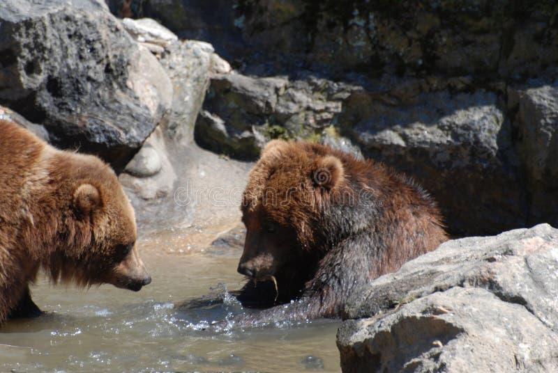 Para Brown grizzly Bawić się w Płytkiej Rzecznej krawędzi obraz royalty free