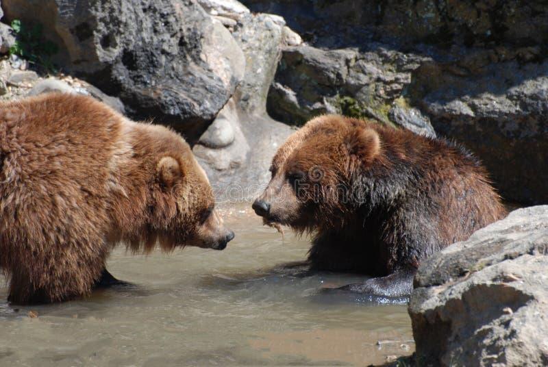 Para Brown niedźwiedzie Watuje w płytkiej wodzie obrazy royalty free