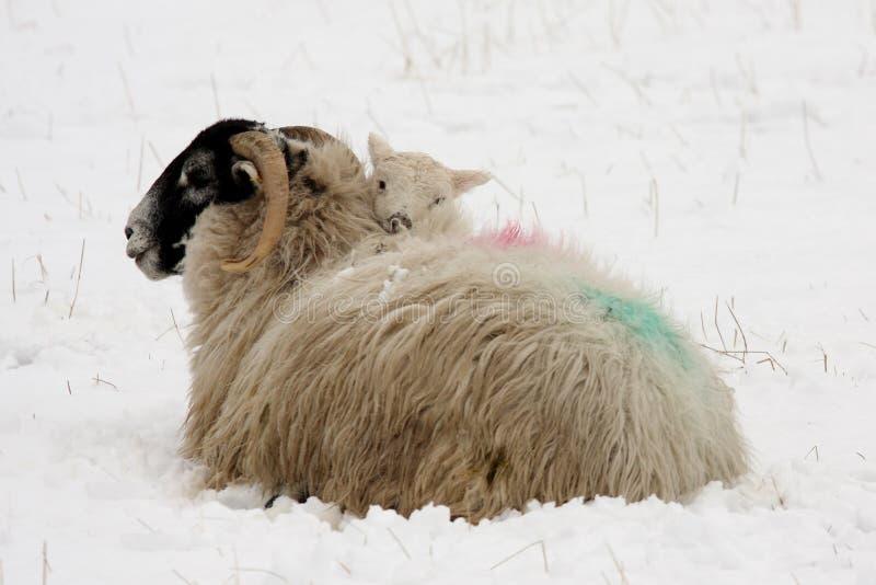 Para calentándose en madre en la nieve fotos de archivo