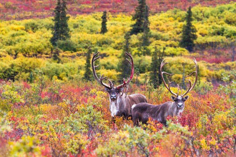 Para caribou w jesieni w Denali parku narodowym w Alaska zdjęcie royalty free