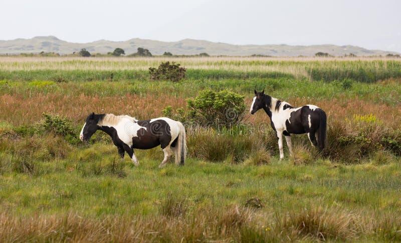 Para Ciemny Brown i Biali konie Pasa w łące zdjęcia royalty free