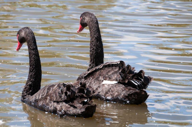 Para czarni łabędź, Cygnus atratus dopłynięcie w stawie, jezioro zdjęcie stock