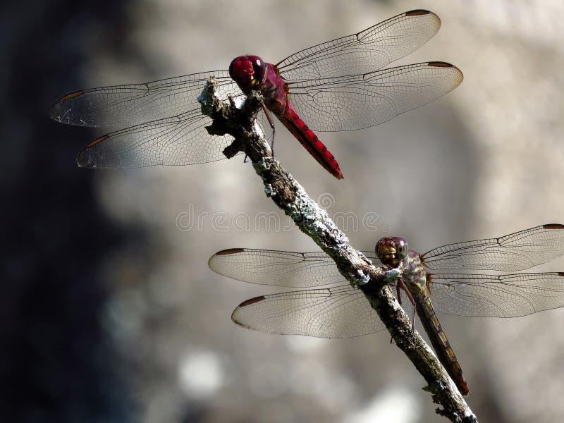 Para dragonflies na suchej gałąź obraz royalty free
