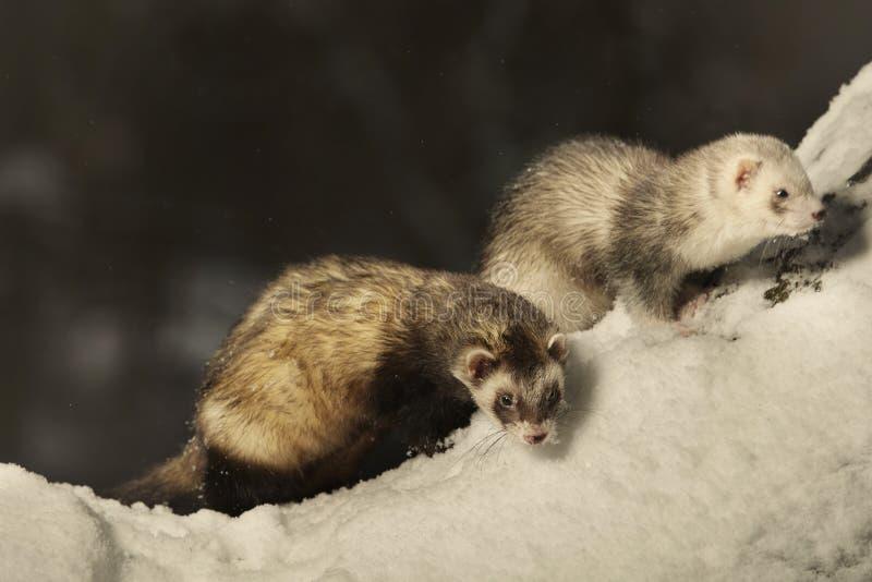 Para dwa fretki pozuje zima czas w parku i cieszy się zdjęcia royalty free
