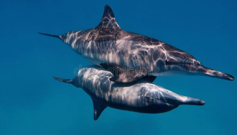 Para dzicy bootlenose delfiny fotografia stock