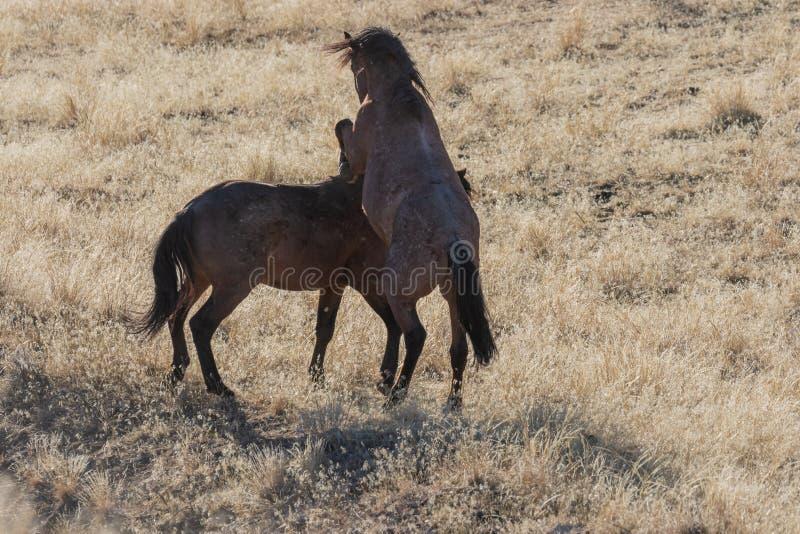 Para Dzicy konie Zaciera się w Utah obrazy stock