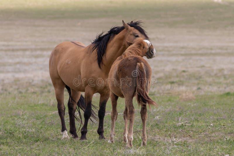 Para Dzicy konie Zaciera si? w pustyni fotografia stock