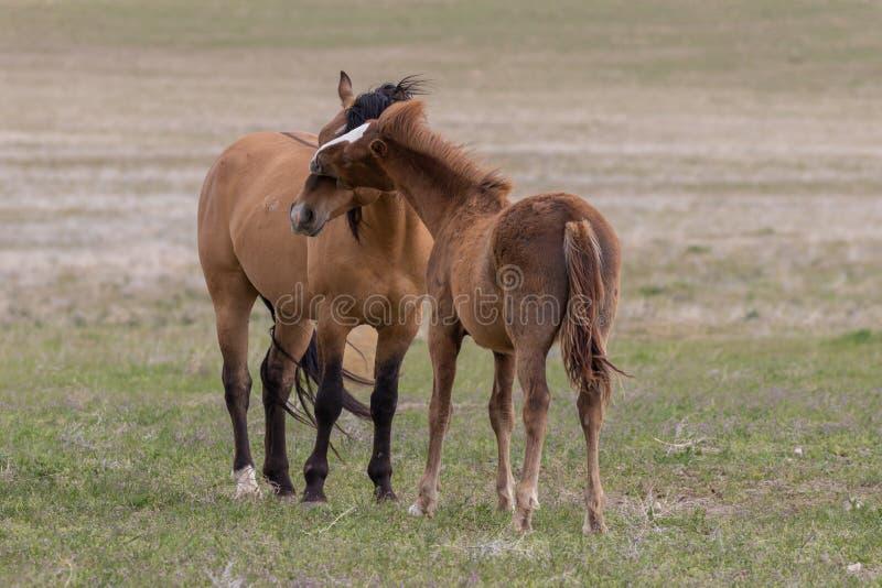 Para Dzicy konie Zaciera si? w pustyni obrazy stock