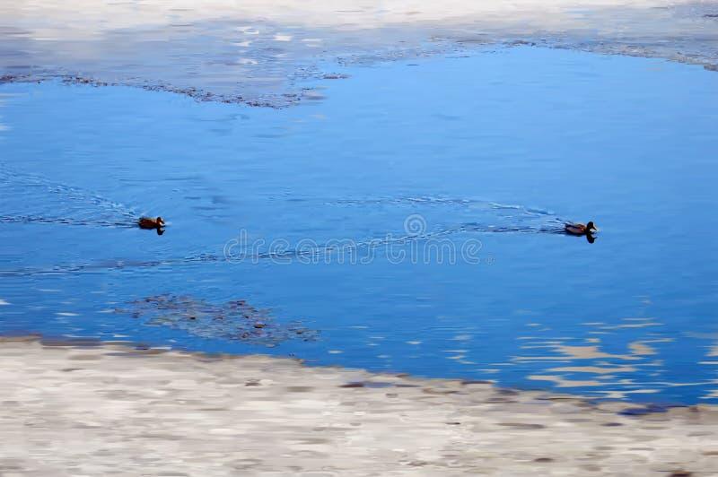 Para dzikie emigracyjne kaczki zatrzymywa? odpoczywa? na wodzie Wiosna Emigracyjny Mallards p?ywanie mi?dzy lodowymi floes akware fotografia royalty free