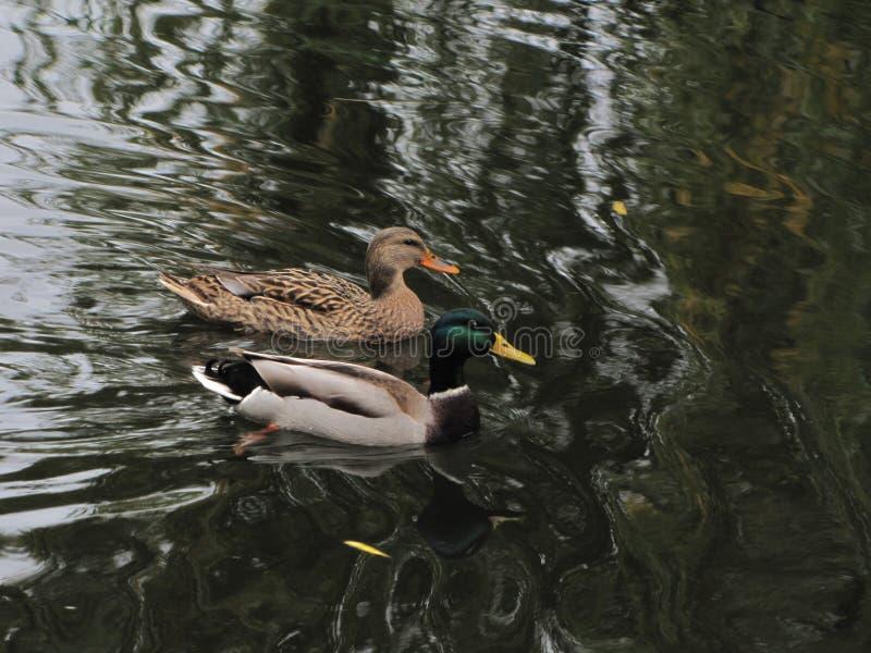 Para dzikie kaczki na stawie zdjęcie stock