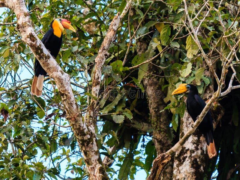 Para dzioborożec w tropikalnym tropikalnym lesie deszczowym obraz royalty free