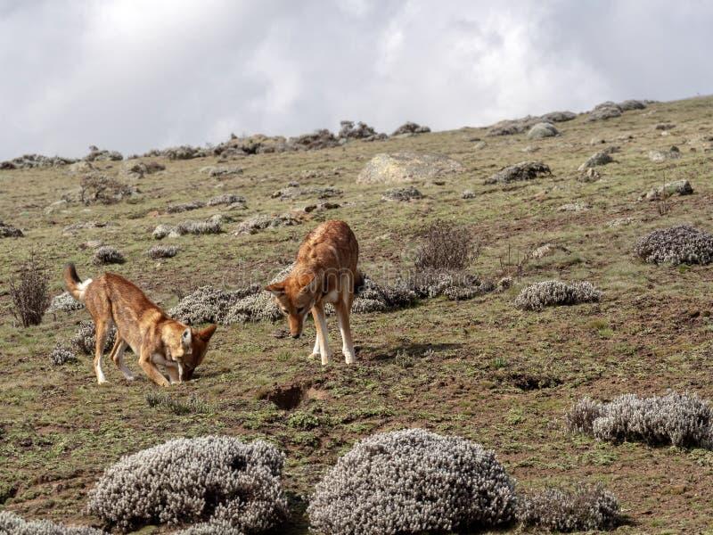 Para Etiopski wilk, Canis simensis, Tropi Przewodzącego Łowieckiego Afrykańskiego szczura, Sanetti plateau, bela park narodowy, E obraz royalty free
