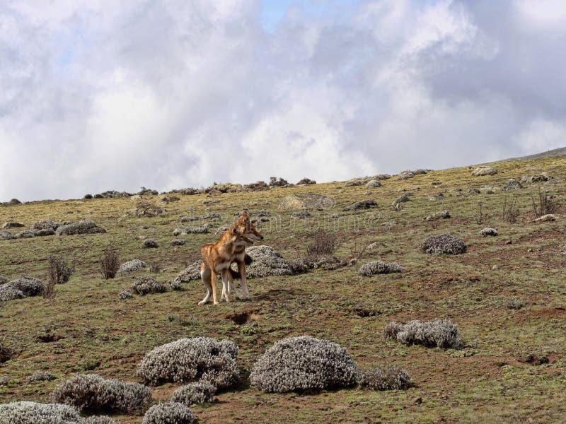 Para Etiopski wilk, Canis simensis, Tropi Przewodzącego Łowieckiego Afrykańskiego szczura, Sanetti plateau, bela park narodowy, E zdjęcia royalty free
