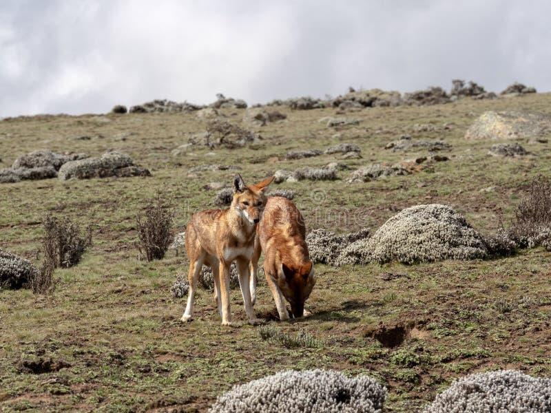 Para Etiopski wilk, Canis simensis, Tropi Przewodzącego Łowieckiego Afrykańskiego szczura, Sanetti plateau, bela park narodowy, E zdjęcia stock
