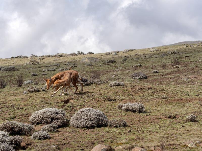 Para Etiopski wilk, Canis simensis, Tropi Przewodzącego Łowieckiego Afrykańskiego szczura, Sanetti plateau, bela park narodowy, E obrazy stock