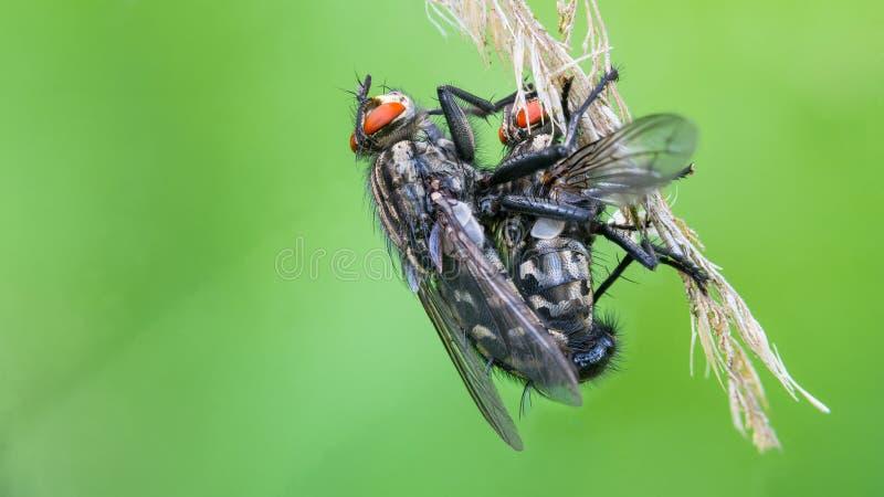 Para Europejskie pospolite ciało komarnicy Sarcophaga carnaria zdjęcie royalty free