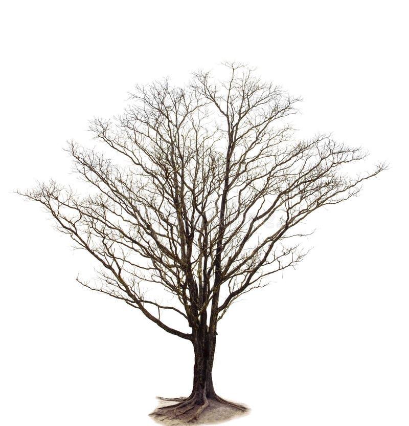 Para fora a linha de ramo de árvore seco isolou o uso branco do fundo para o de ilustração stock