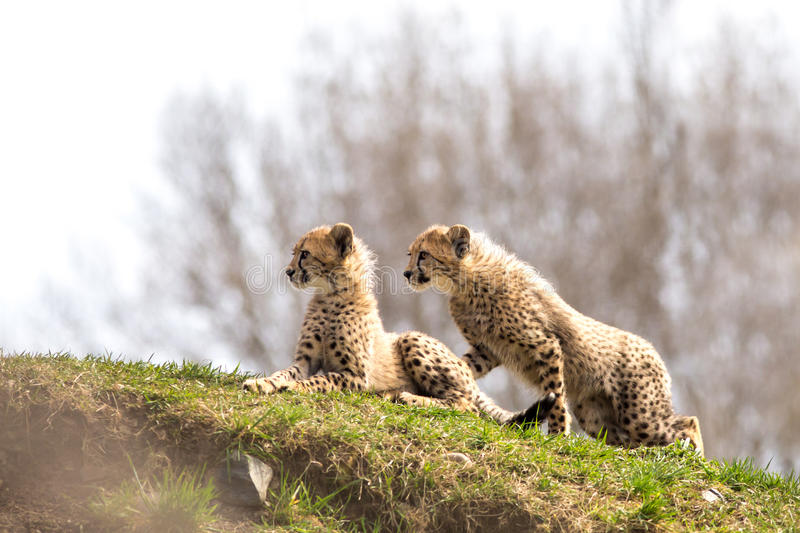 Download Para gepardów lisiątka zdjęcie stock. Obraz złożonej z wielokrotność - 57660324