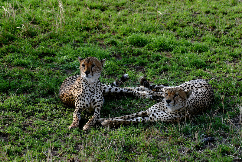 Para gepardy zdjęcia royalty free