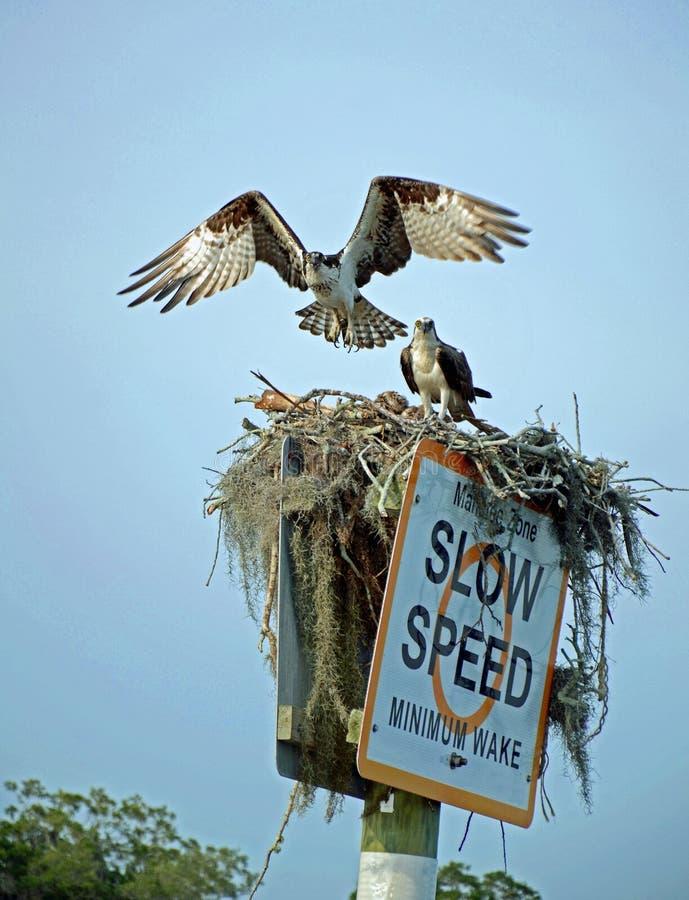 Para gniazduje na Korytkowym markierze rybołów obraz stock