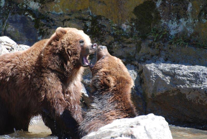 Para grizzly niedźwiedzie Gryźć przy Each Inny obrazy stock