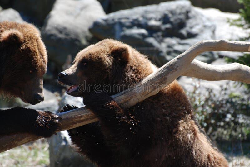 Para grizzly niedźwiedzie na Spadać beli obraz royalty free