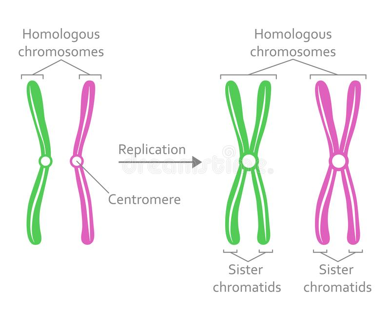 Para Homologiczni chromosomy ilustracji