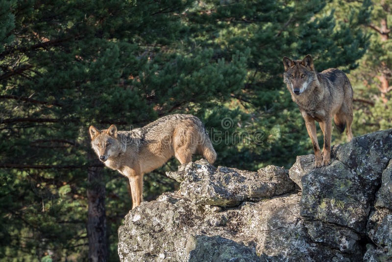 Para iberian wilka Canis lupus signatus nad skałą obrazy stock