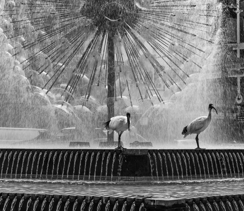 Para ibisów ptaki w czarny i biały, z piękną El Alamein Pamiątkową fontanną w tle, królewiątka Krzyżuje, Sydney obrazy stock