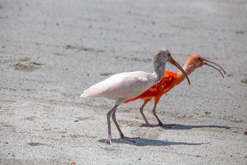 Para ibisa ptak, jeden czerwień i jeden biel, chodzi na pyle obraz royalty free