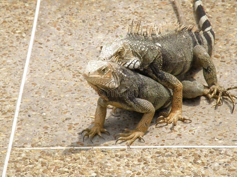 Para ihop ödlor på en betong gå vägen i Aruba royaltyfri bild
