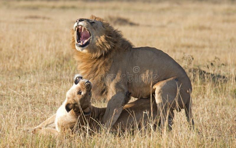 Para ihop för lejon arkivfoto