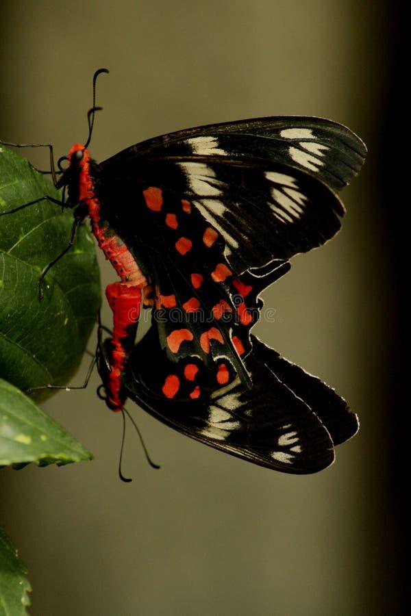 Para ihop fjärilar. royaltyfri bild