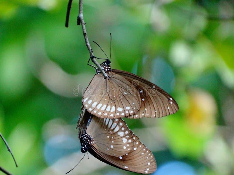 Para ihop fjärilar, hängning på de royaltyfria bilder