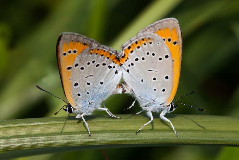 Para ihop fjärilen Polyommatus icarus Flor-påskyndad färgrik blå apelsin arkivbild