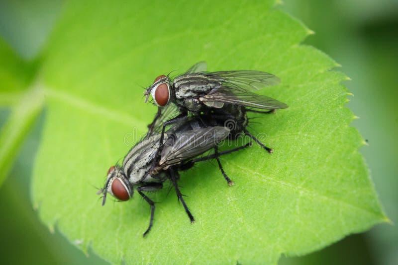 Para ihop flugor royaltyfria bilder