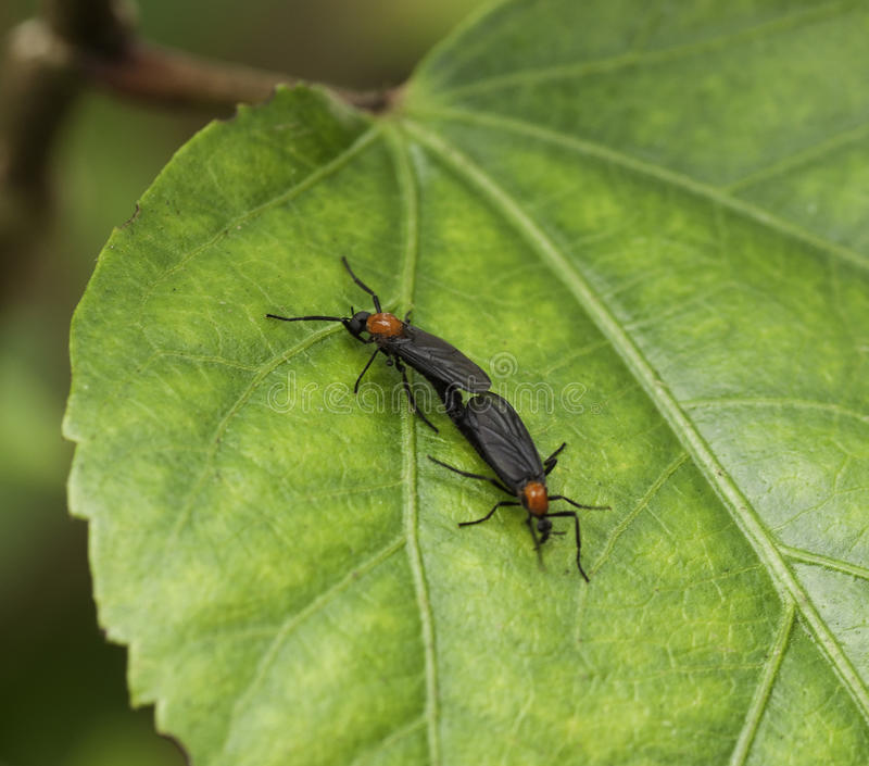Para ihop Lovebugs på det gröna bladet arkivfoto