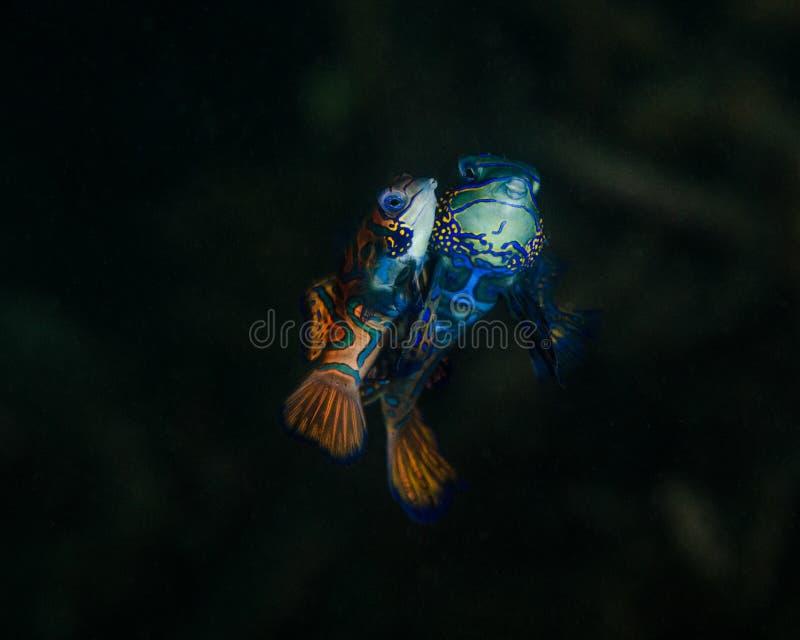Para ihop Mandarinfish i norr Sulawesi, Indonesien royaltyfria bilder