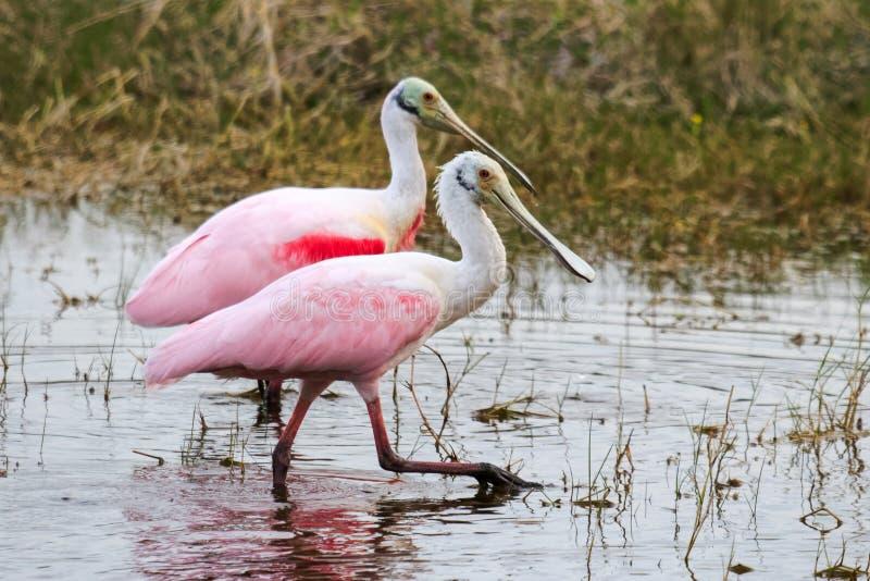 Para ihop par av Roseate Spoonbills i översvämmar Everglades arkivbild