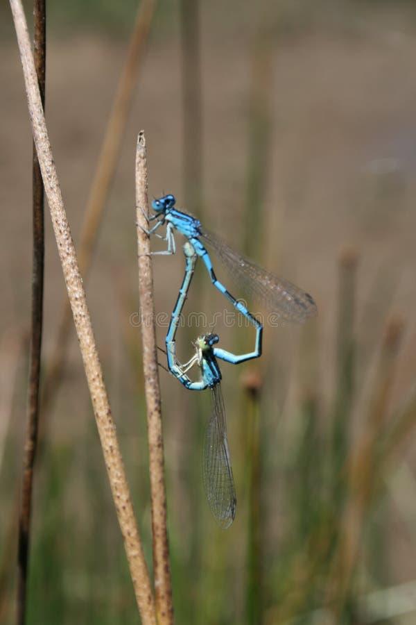 Para ihop par gemensamma blåa Damselfy royaltyfri foto