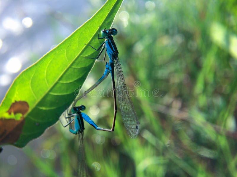Para ihop två blåa sländor på bladet Stäng sig av två härliga damselflies parar ihop upp under den föda upp säsongen på ett blad  royaltyfri fotografi