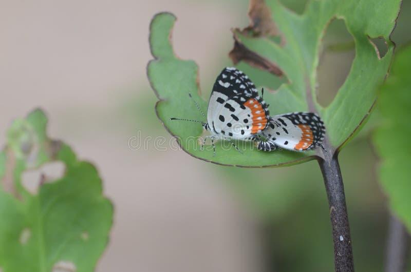 Para ihopfjärilar royaltyfri fotografi