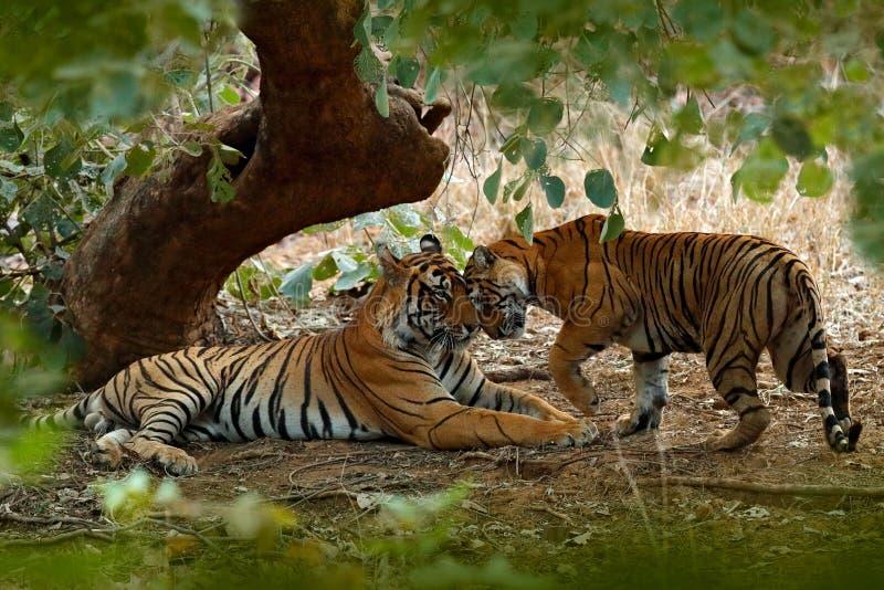 Para Indiański tygrys, samiec w lewym, kobieta w dobrze, pierwszy deszcz, dzikie zwierzę, natury siedlisko, Ranthambore, India Du obrazy stock