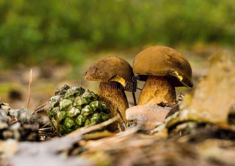 Para jadalni boletuses w suchych liściach obrazy stock