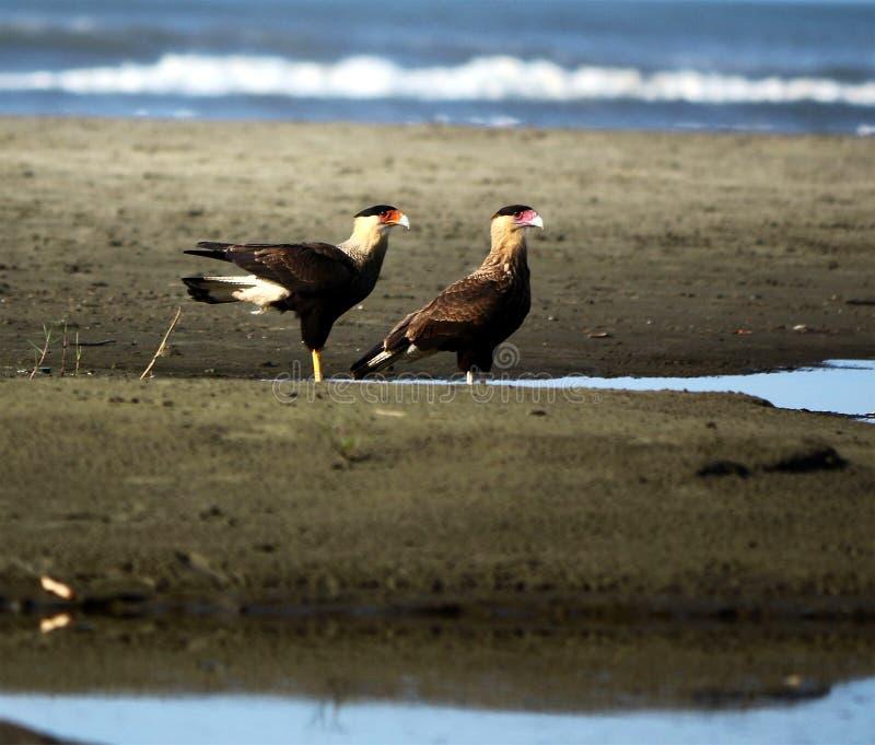 Para jastrzębie na plaży zdjęcia royalty free