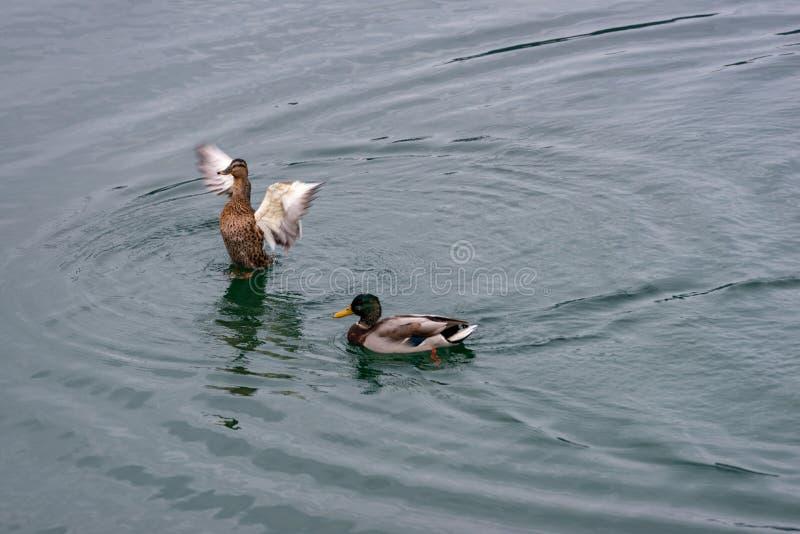 Para kaczki na jeziorze zdjęcie royalty free