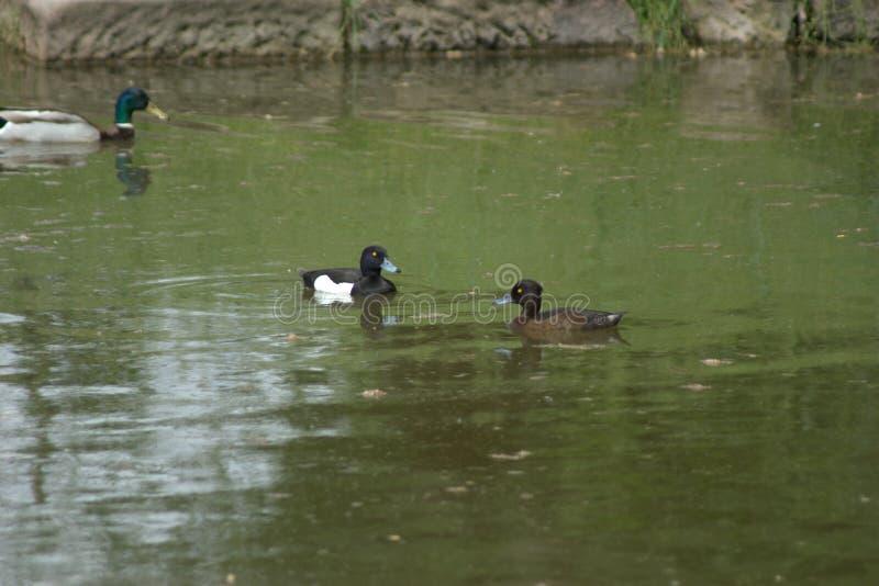 Para kiciaste kaczki pływa w stawie wraz z męską mallard kaczką obrazy royalty free